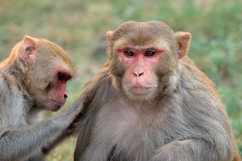 rhesus-majom