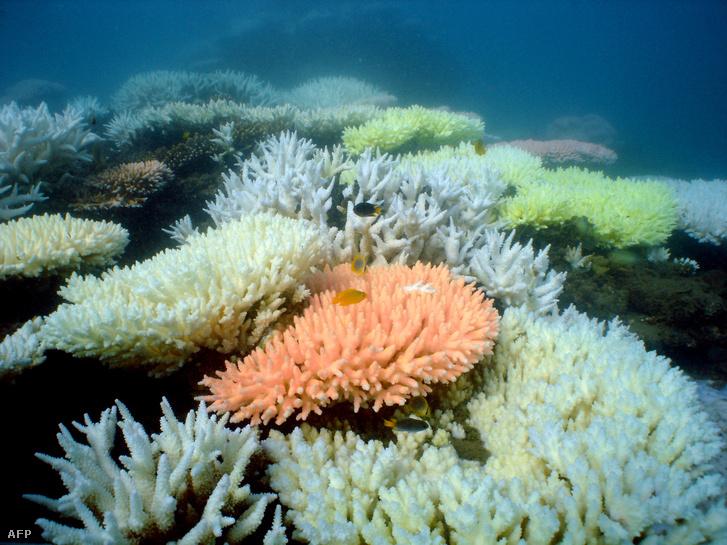 Kifehéredett korallok a Nagy-korallzátonyon