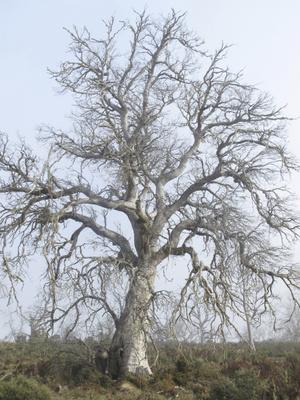 Elhalt tasmániai havasi eukaliptusz fa (Eucalyptus gunnii divaricata). Kiszáradásához a meleg éghajlat és a legelő állatok, nyulak vezettek. Ma már csak egy-kétezer példány létezik belőle.