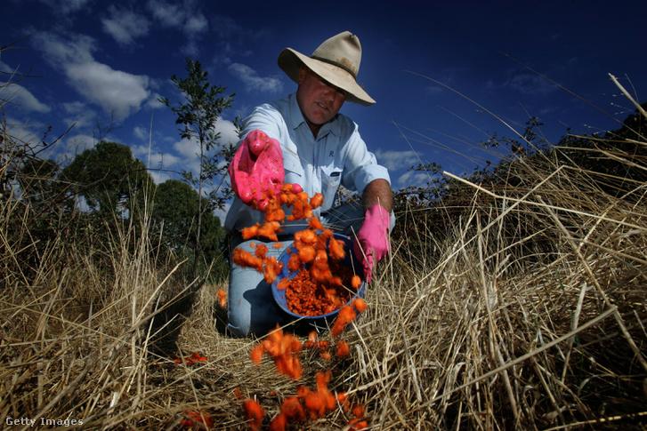 Ron Duggan vadőr Calici vírussal fertőzött sárgarépa darabokat szór szét a nyúlpopuláció elpusztítására 2006.03.31. Ausztrália