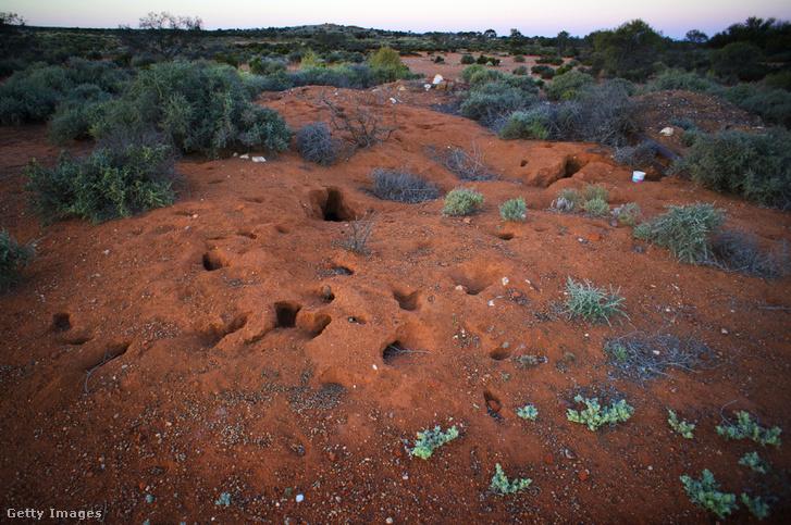Nyúl odúk Murchison régióban, Northern Gold Fields, Nyugat-Ausztrália