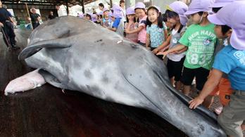 Japán újra legalizálná a bálnavadászatot