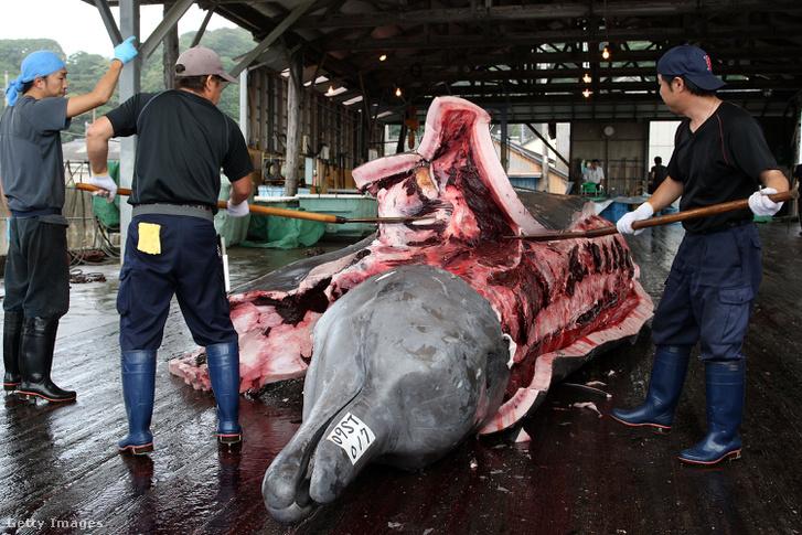 Halász darabolja fel a csőröscet tetemét. Wada kikötő, Minamiboso, Chiba, Japán 2009.07.29.