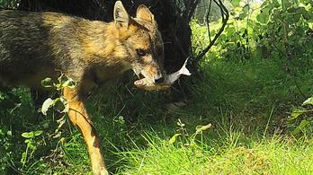 Ötvenezer rókát és tízezer sakált irtanának ki a románok a sertéspestis miatt