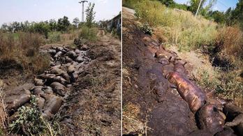 Több év börtön járhat a tiszaföldvári sertéshorror felelőseinek