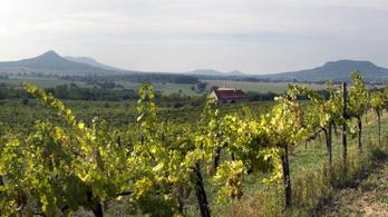Veszélyben a szőlőtermelés a Balaton-felvidéken