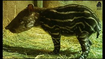 Hatnaposan elpusztult az állatkerti tapírborjú