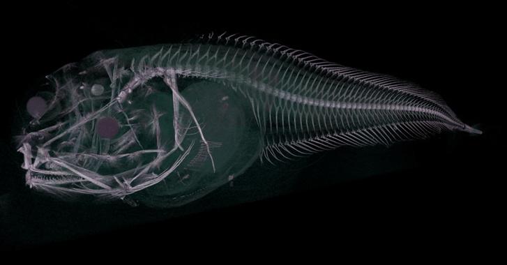 CT szken az Atacama snailfishről