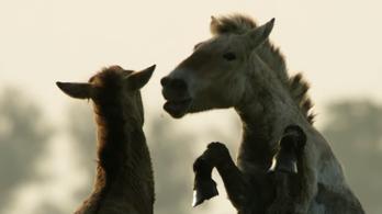 A Hortobágy vadlovairól szól a Vad Magyarország folytatása