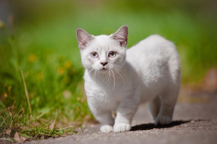 Munchkin macska