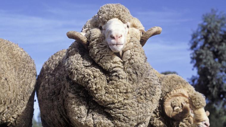 A merinó juhok pengén néznek ki