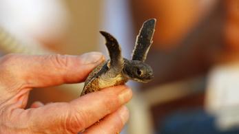 Kihalhatnak a teknősök a szemetelők miatt