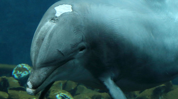 Elpusztult a világ egyik legöregebb palackorrú delfinje