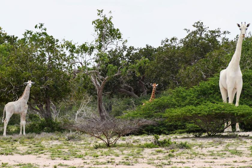 Hófehér zsiráfokat videóztak le a vadőrök: nagyon ritkán látni ilyesmit