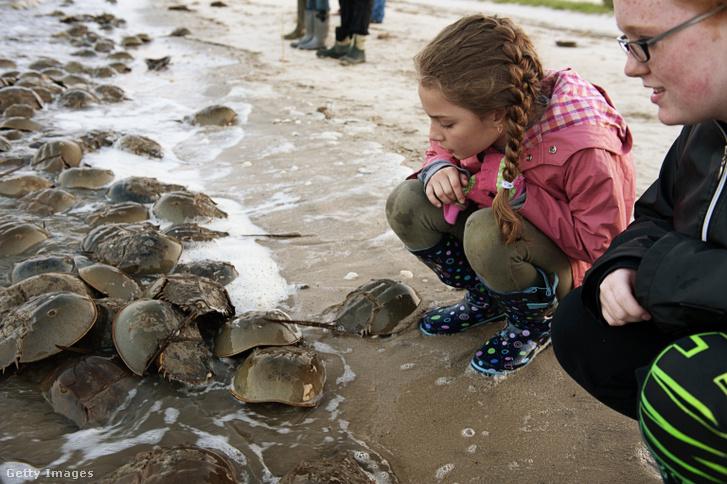 Több száz tőrfarkú rák a Delaware-öböl partján.
