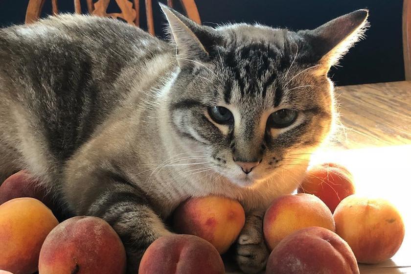 Furcsa dolgot vált ki a macskából a barack illata: imádja érte az internet