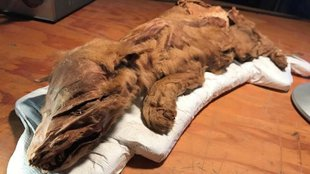 Több tízezer éve mumifikálódott állatkölykök