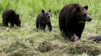 Halálos grizzlytámadás történt az amerikai Wyoming államban