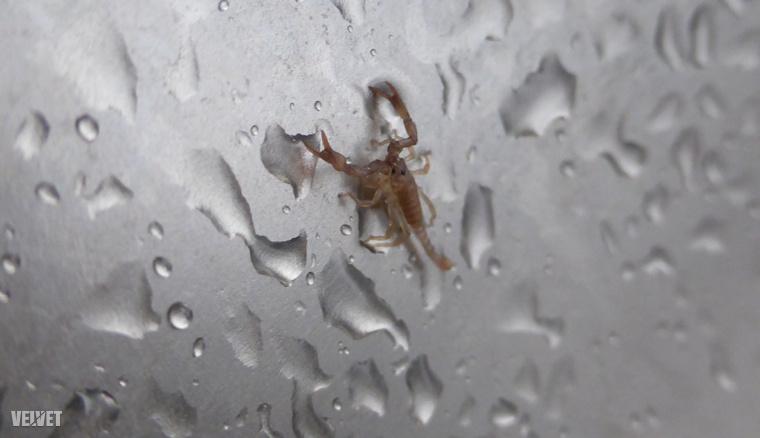 A vízcseppekhez képest elég jól be lehet lőni, hogy ez tényleg egy nagyon pici skorpió volt.