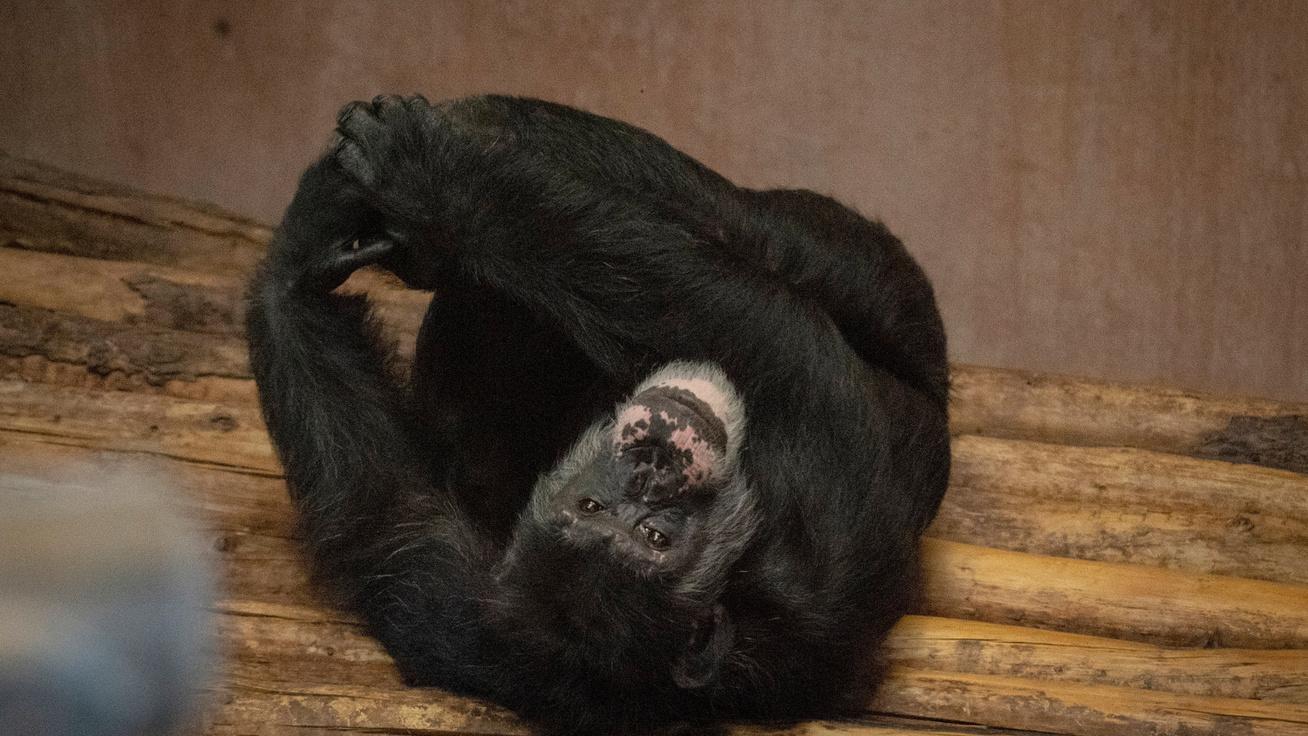 Kegyetlen kísérleteket végeztek rajtuk: ma így élnek a laboratóriumi csimpánzok
