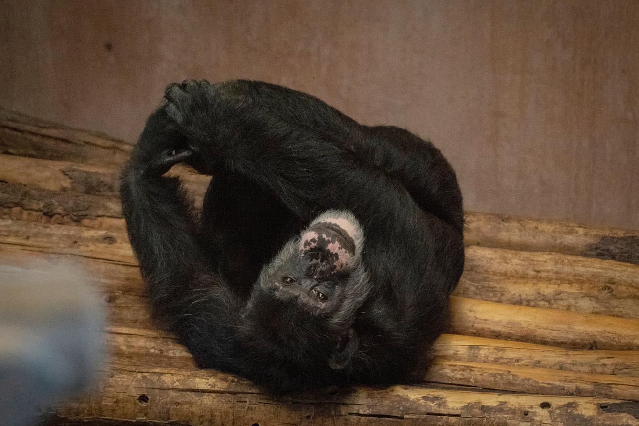 csimpanz-1