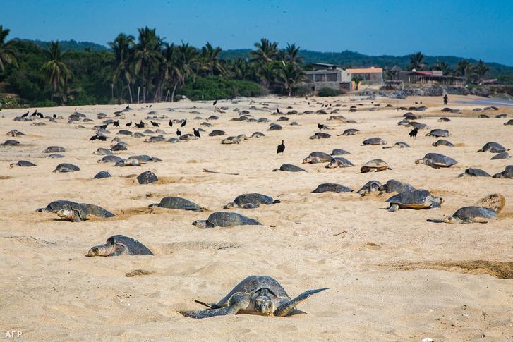 Képünk illusztráció: tengeri teknősök Ixtapilla strandján, Mexikóban