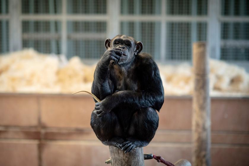 A csimpánzokon többek közt olyan vírusok megismerése céljából kísérleteztek, mint az AIDS, a HIV és a HPV.