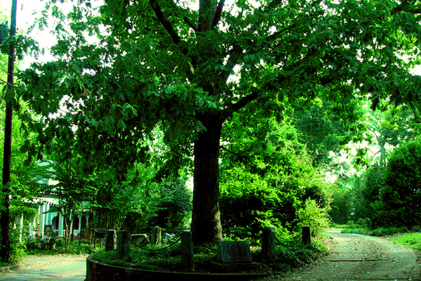 Elképesztő trükkel mentettek meg egy több száz éves fát: egyszerre vicces és zseniális
