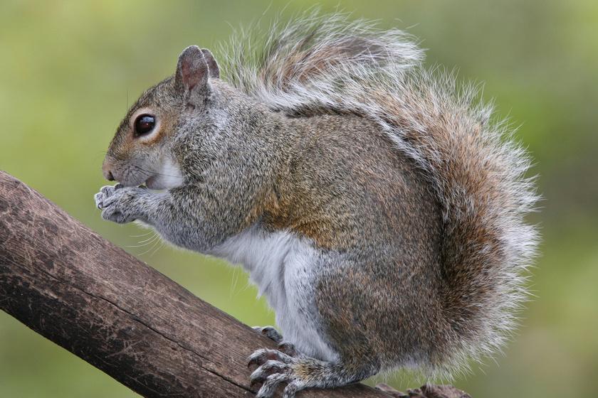A mókusok évente több ezer fát elültetnek, na, nem azért, mert erdészek szeretnének lenni, egyszerűen elfelejtik, hova ásták a makkot.