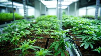 Száguldanak a marihuána-részvények az amerikai tőzsdén