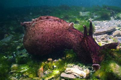 tengeri-csiga