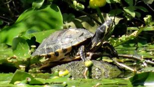 Hasfájásra panaszkodott, halott teknős került elő a vaginájából