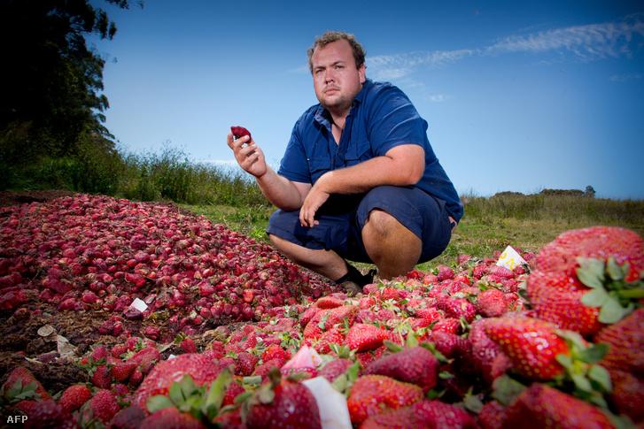 Aidan Young queenslandi epertermesztő kénytelen megsemmisíteni a tűfrász miatt eladhatatlan epertermést