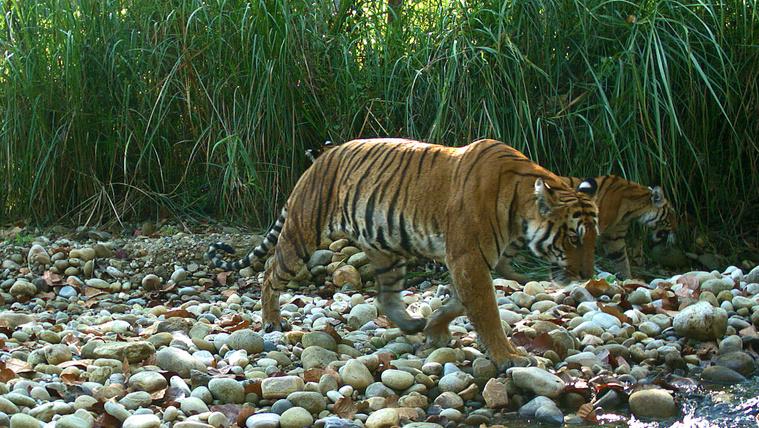 Nepálban kis híján megduplázódott a vadon élő tigrisek száma