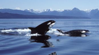 Kihalhat a kardszárnyú delfinek fele