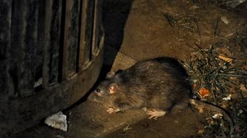 Először fertőzött meg embert patkányok közt terjedő hepatitis