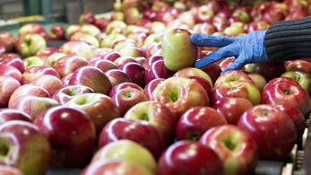 Ha minden almafajtát megkóstolnánk, az több mint negyven évig tartana