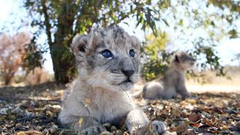 Sikeres az oroszlánok lombikbébi-programja