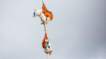 Rácsúsztak az emberi vizeletre és izzadságra a washingtoni hegyi kecskék