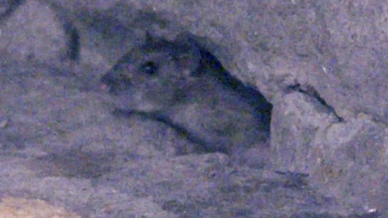 Méretes patkányok szaladgálnak a budapesti hidak lábánál