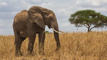 Az elefánt nem izzad, ezért ráncos a bőre