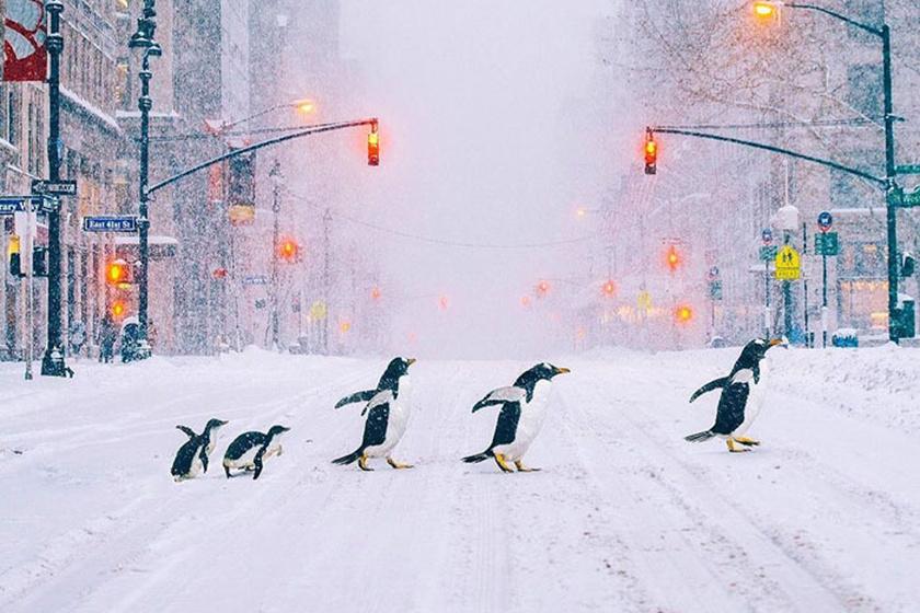Pingvincsalád kelt át a forgalmas úton - Gyönyörű fotók, melyektől eláll a lélegzeted