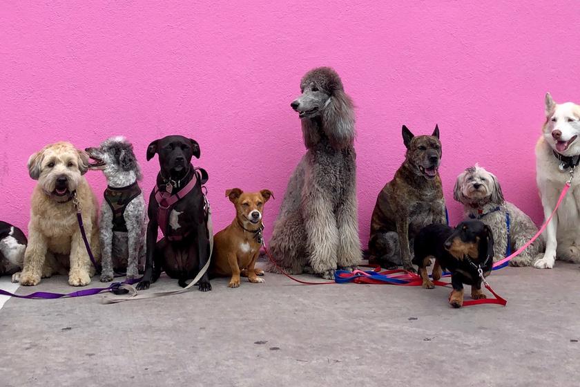 sok-kutya