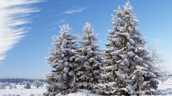 Hogy csinálja a fenyő, hogy zöld marad télen is?
