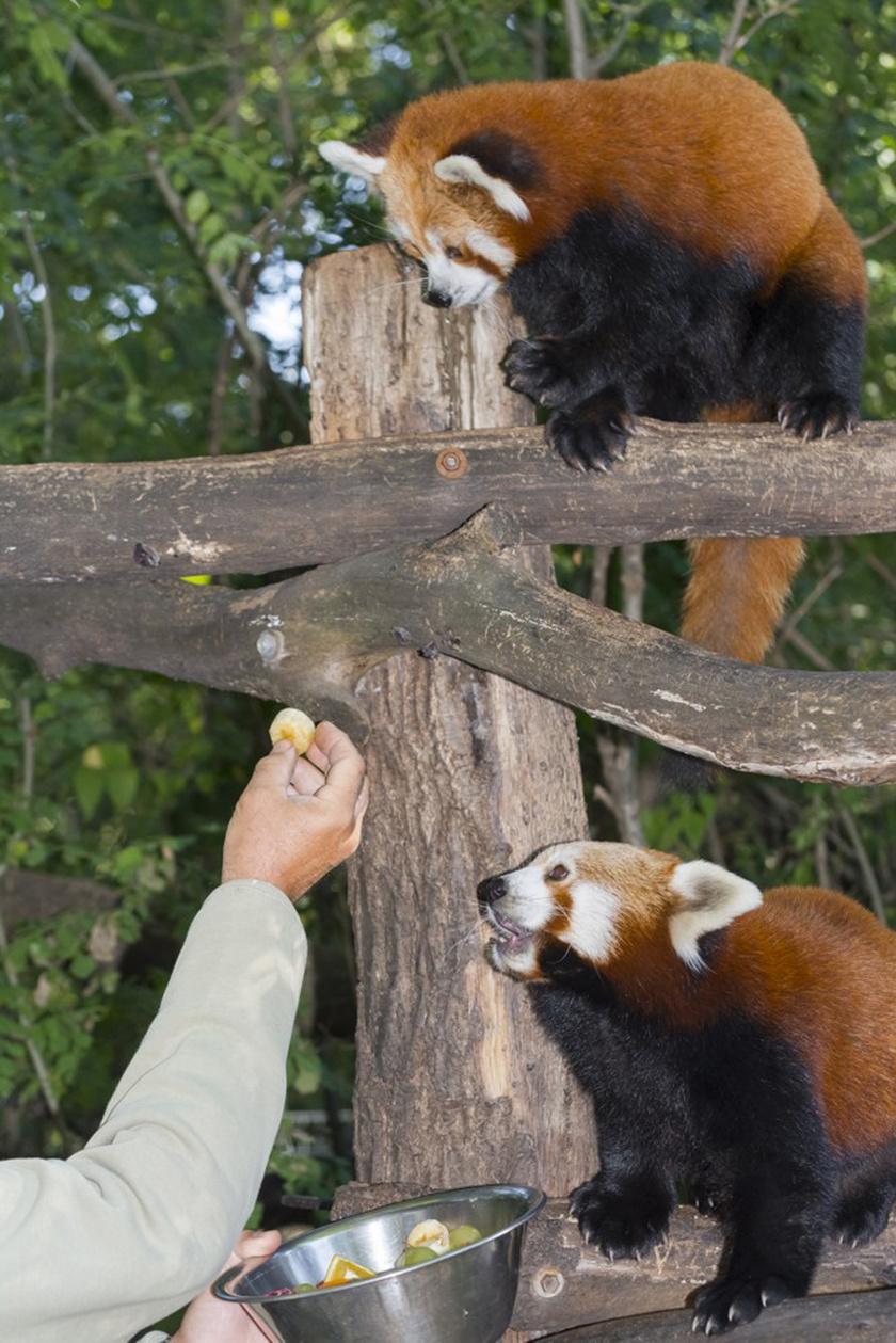 A pandák sokat pihennek napközben az ágakon, így, akik kifejezetten miattuk keresik fel a Vadasparkot, azoknak érdemes nyitásra érkezniük, mert az állatok akkor reggeliznek, és akkor a legaktívabbak.