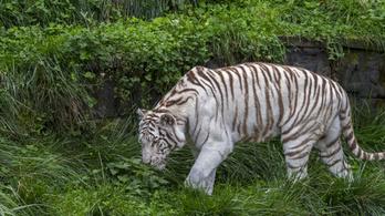 Megölte gondozóját egy fehér tigris Japánban