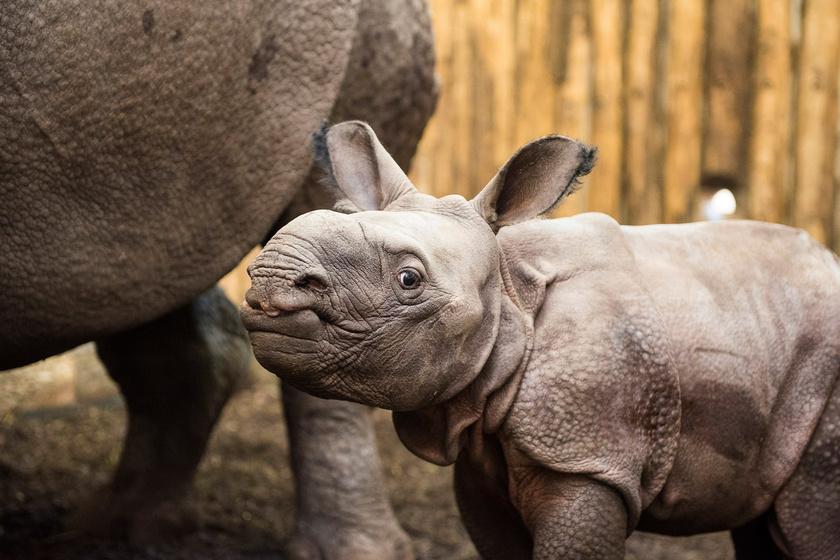 A kis rinocérosz mindennapjait és gyarapodását születése óta figyelemmel kísérik a park szakemberei.