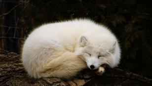 Szelíd, okos és cuki háziállat lehet a róka