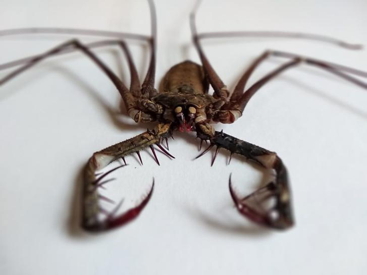 Bár az ostorlábúak (Amblypygi) ijesztő megjelenésű ragadozó pókszabásúak, az emberre ártalmatlanok. Méreganyaguk nincs, szúrni nem tudnak.