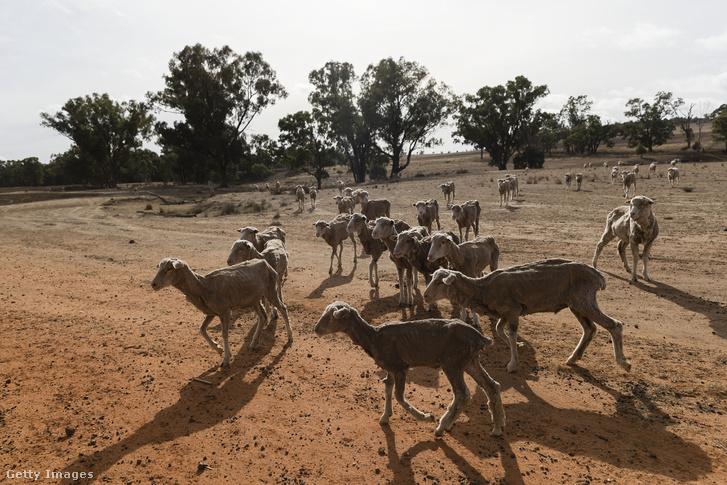 El Nino hatása a csapadékmentes időjárás, szárazság Ausztráliában. Coonabarabran, 2018. június 20.